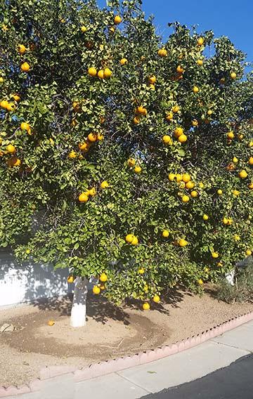 Orange tree small