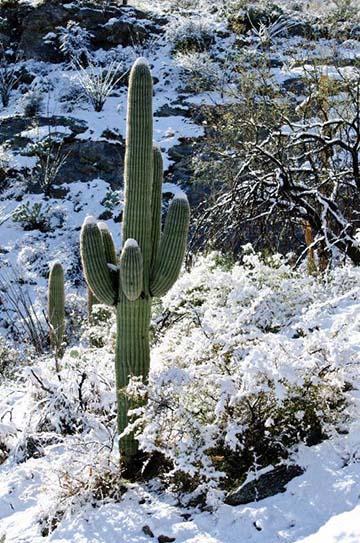 Snow saguaro