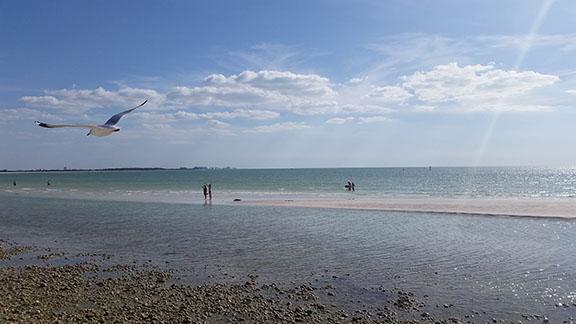 Honeymoon Island seagull small