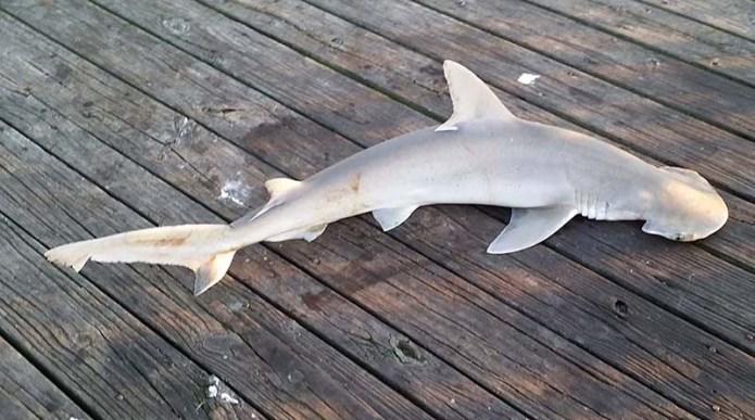 Shovelhead shark small