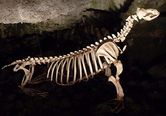 Sea lion skeleton 2