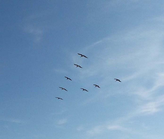 flight-of-pelicans