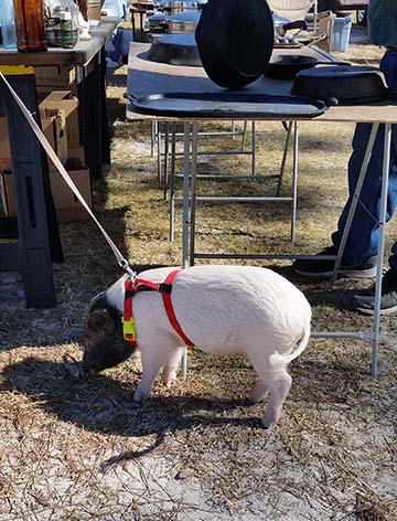 potbelly-pig