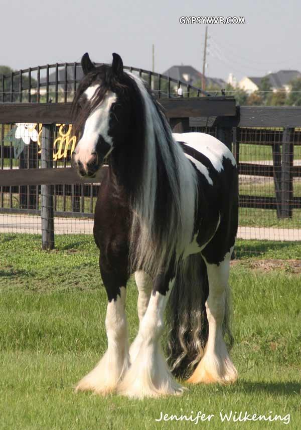 Black And White Horses For Sale : black, white, horses, Gypsy, Vanner, Horses, Black, White, Layla