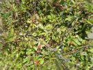 Wild Blackberries at Grayton Beach, Florida