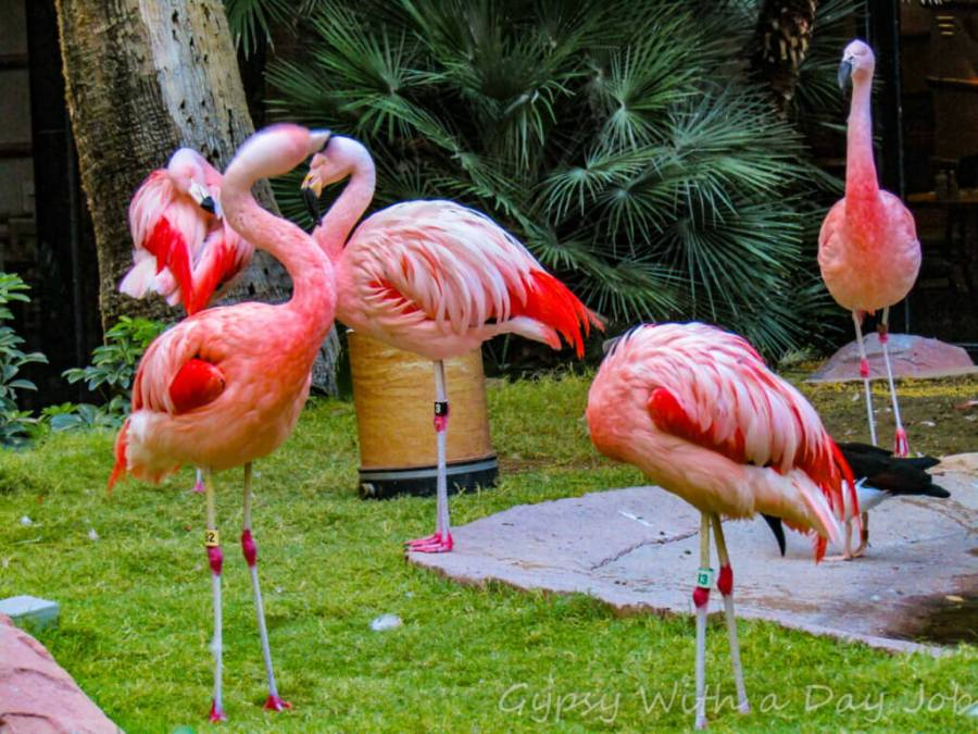 Las Vegas Flamingo flamingos, a relaxing habitat right on the strip, with free entrance.