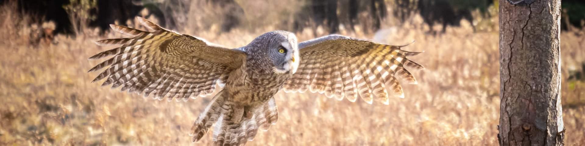 Barn Owl - a raptor