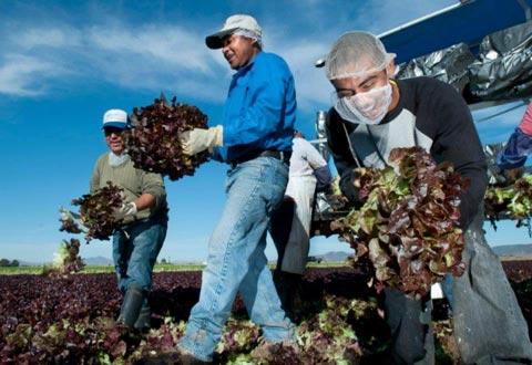 Lettuce Harvest H-2A