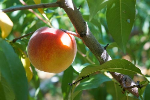 peaches_500