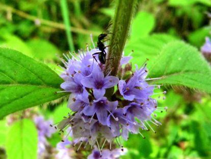 Blüten der Wasserminze mit Ameise