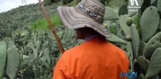 cosecha-higo