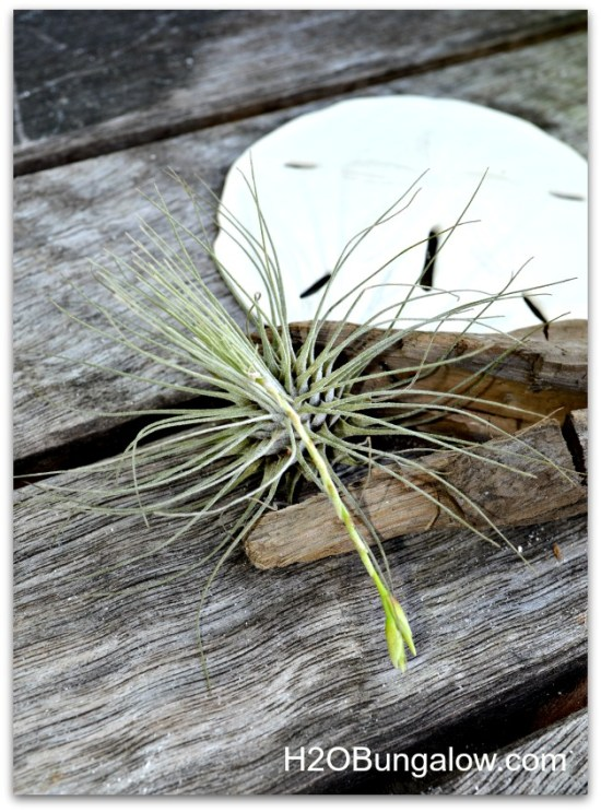 Some airplants bloom, like this one