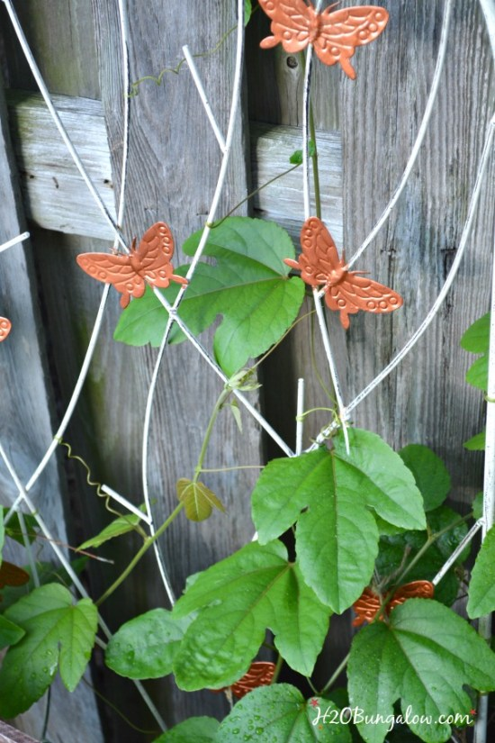 passion vine for butterfly garden and DIY landscaping by H2OBungalow