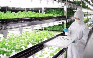 Salle blanche pour la production e salade high-tech chez Toshiba