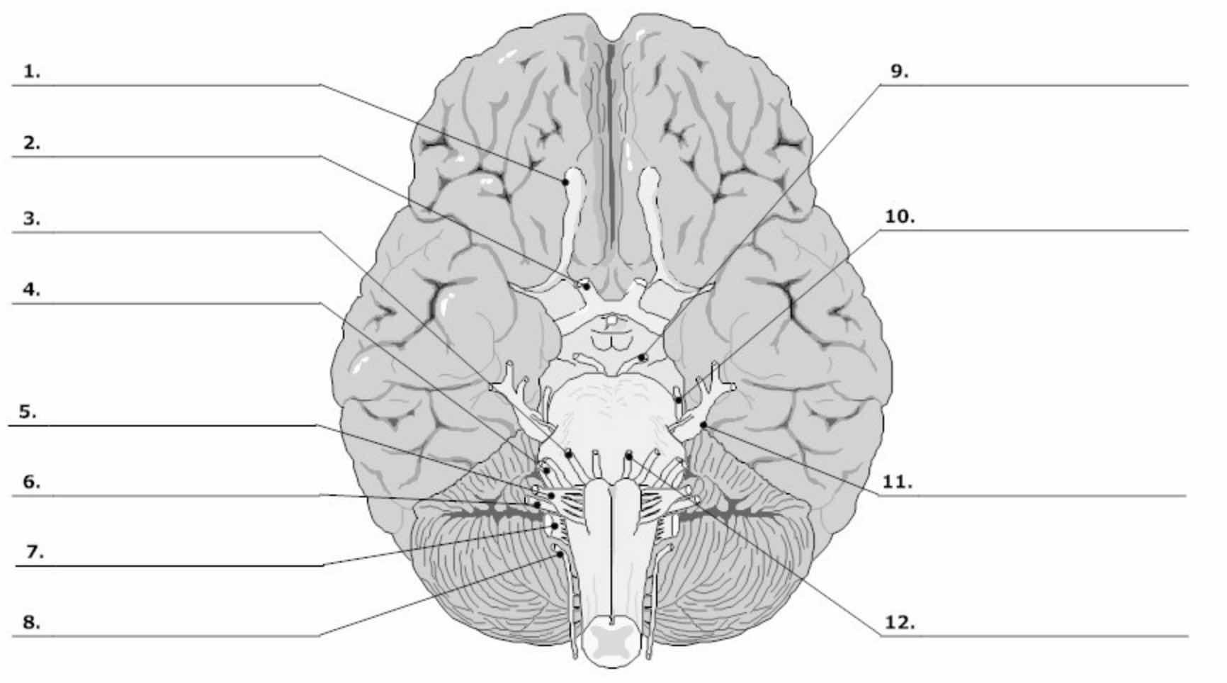 Cranial Nerves Blank Diagram