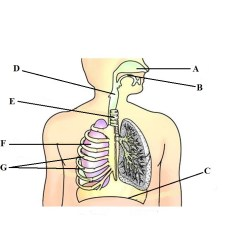 Label The Following Diagram Of Respiratory System Tekonsha P2 Wiring Title Upper Primary Stage Objectives To Identify And Various Parts A