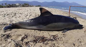 Kuşadasında sahile ölü yunus vurdu 1 metre 90 santimetre uzunluğunda...
