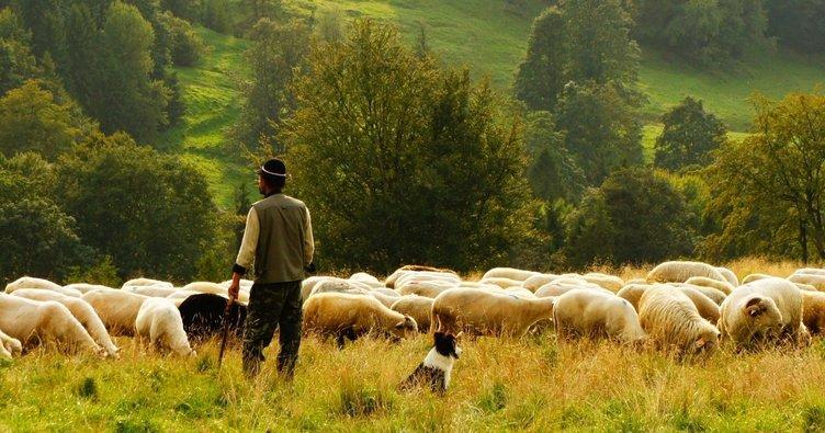 Danıştay'dan çobanlık dersi - SON TV