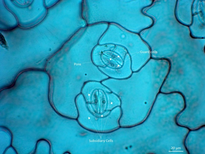 Lab2_Nathan_Sedum leaf epidermis stomata and subsidiary cells annotated_40x