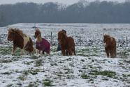 Poneys dans la neige