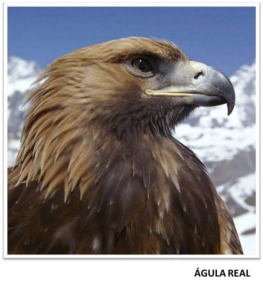 GUILA REAL Caractersticas Hbitat y otros datos sobre esta especie