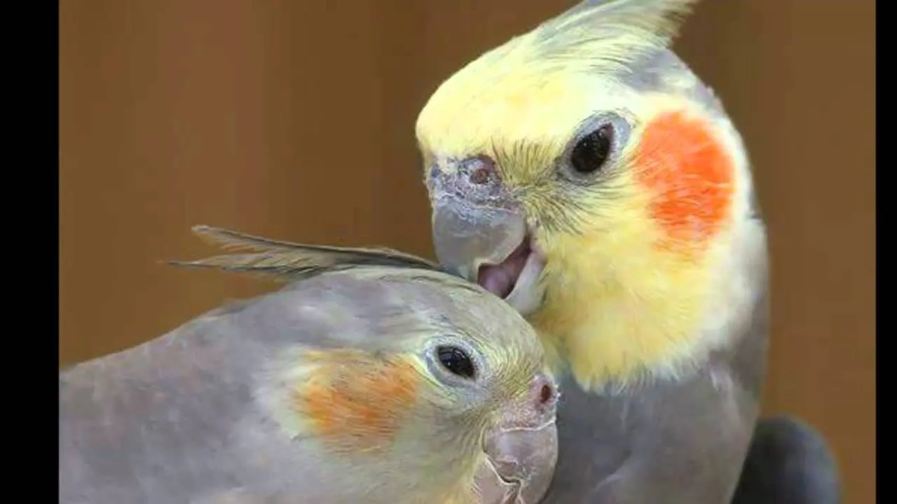 Image result for cacatúa