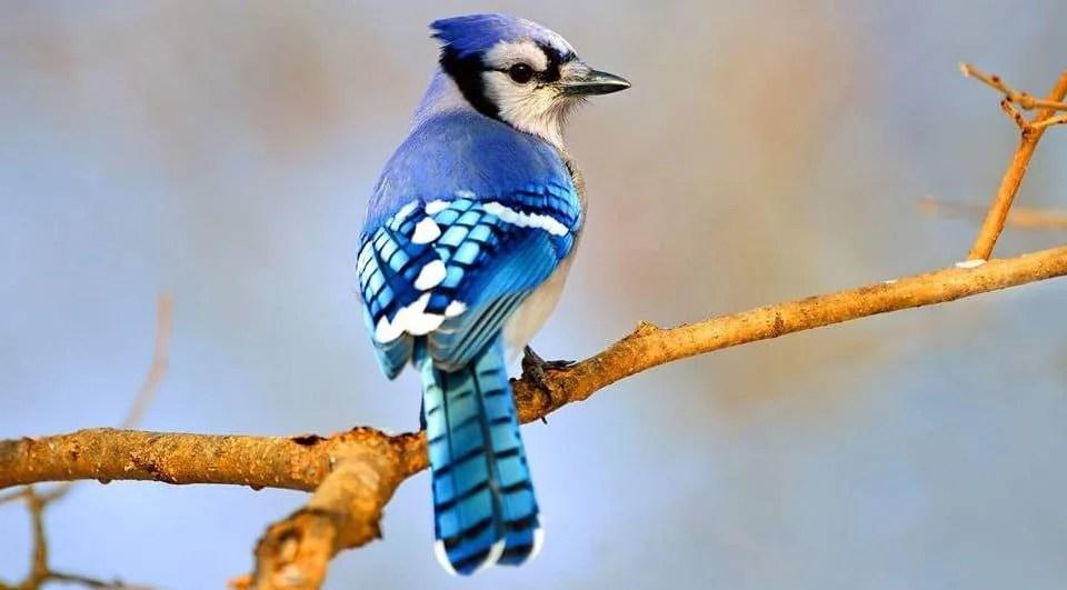 Arrendajo azul Todo lo que debes saber de esta ave