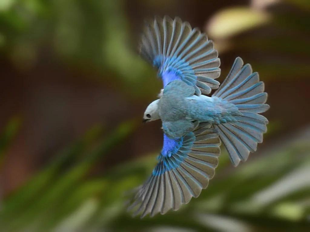 Pajaro Azulejo Nombre Cientifico
