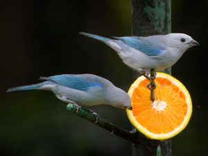 PJARO AZULEJO  Caractersticas Alimentacin Hbitat y mas