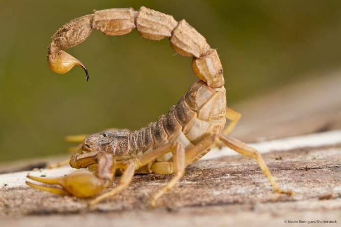 Resultado de imagen para Fotos del escorpión amarillo