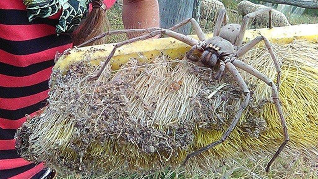 Araa Goliat o araa gigante Conoce a este temible insecto