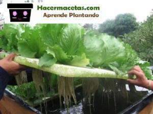 cultivo de lechugas sitemas hidroponicos