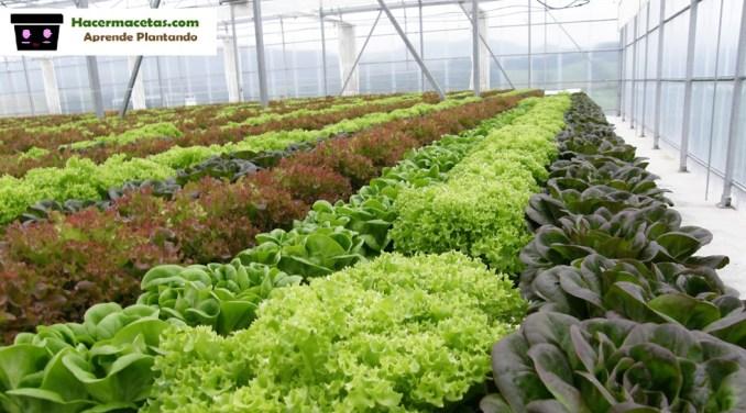 lechugas y hortalizas en gran cantidad