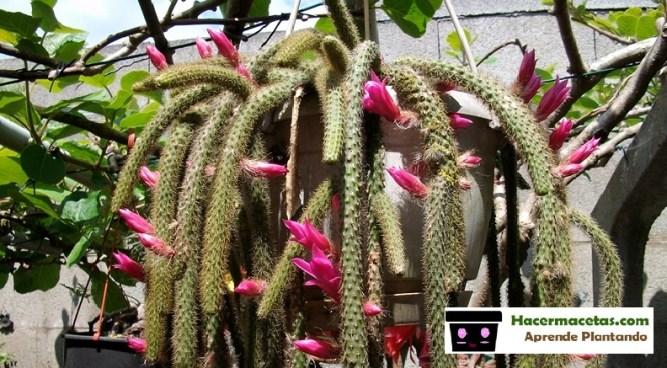 Cactus colgante o cola de ratas brotes de adulto