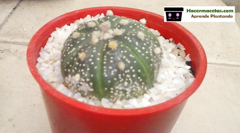 Astrofito en maceta