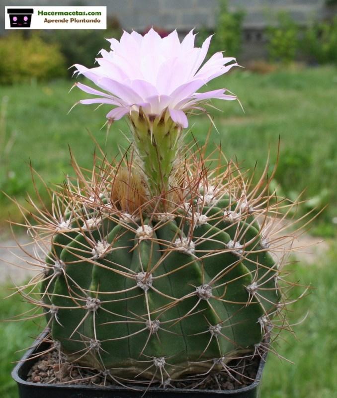 cactus flores varias
