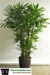 palma Rhapis excelsa para interior en bella maceta de cerámica