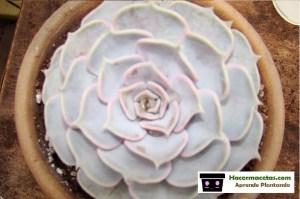 aprende los cuidados para tus plantas Echeverias