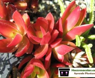 planta suculenta hoja de fuego