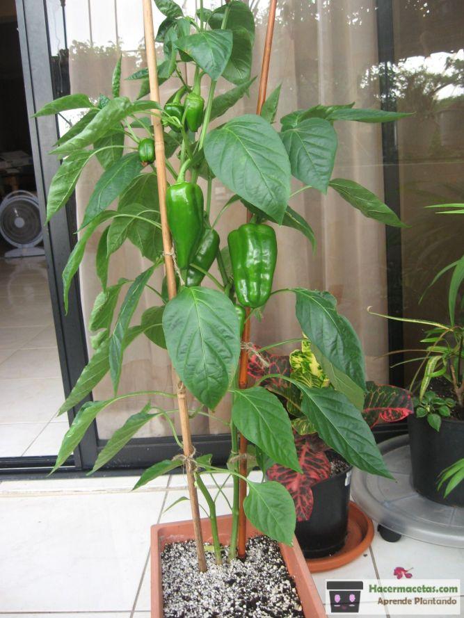 pimientos cultivar en macetas