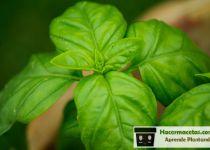 planta saludable de albahaca