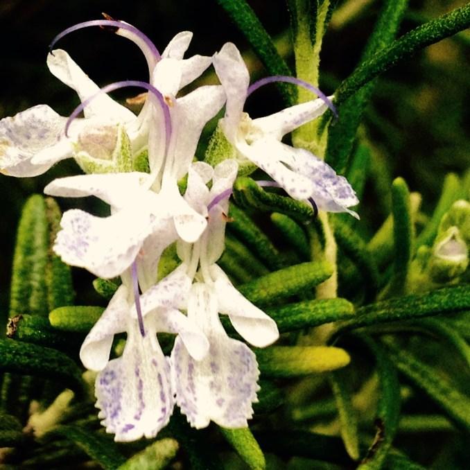 flores de romero en su maximo explendor