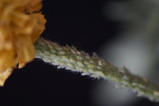 pulgones en mi flor de seda