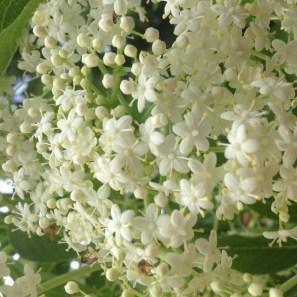 las flores mas bellas osn la de sauco
