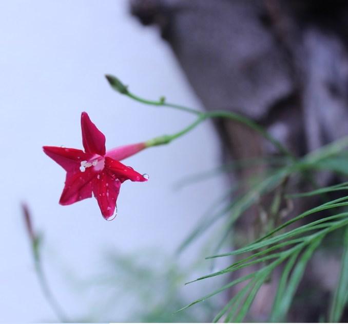 estrella roja de mi jardin