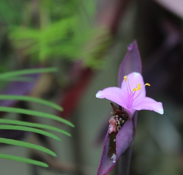 flores de tradescantia pallida