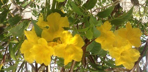 flores de Tecoma stans