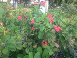 Planta Corona de Cristo planta bella