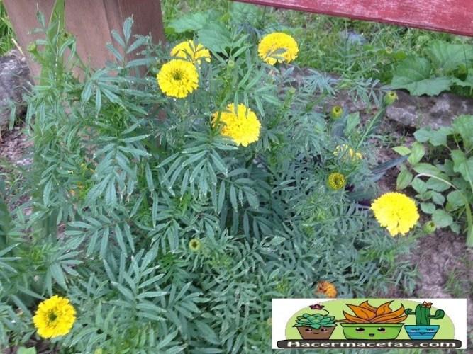 planta de tagete una de nuestro aliados en el huerto. Descubre porque en haermacetas.com