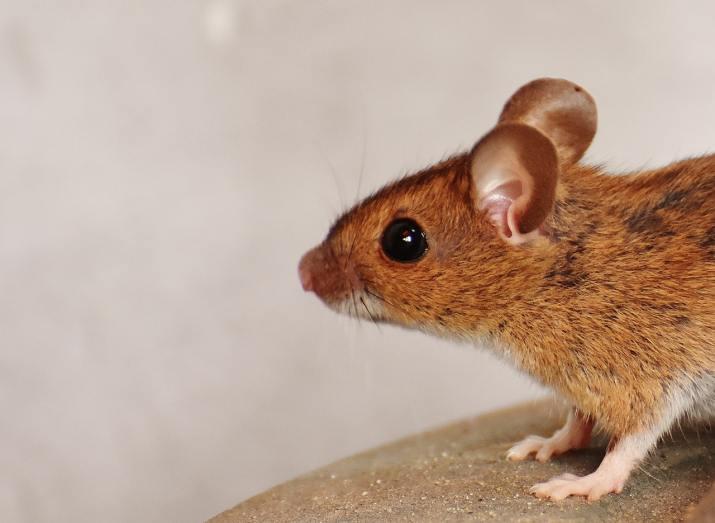 Lonely rat